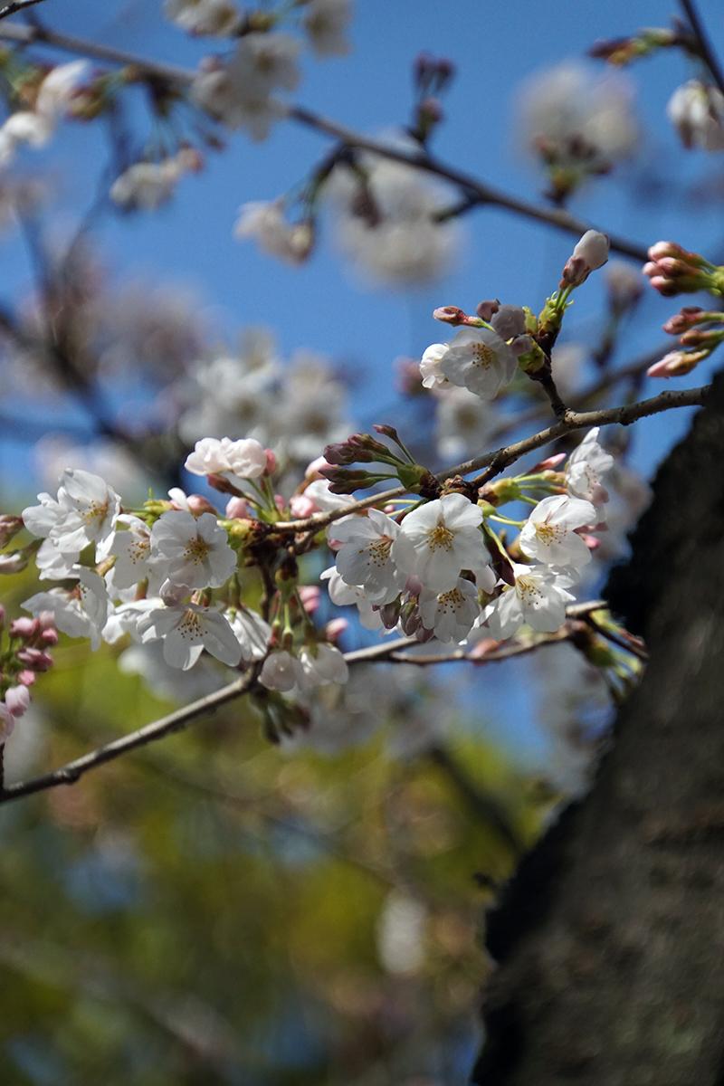 画像 平井さくら公園の桜