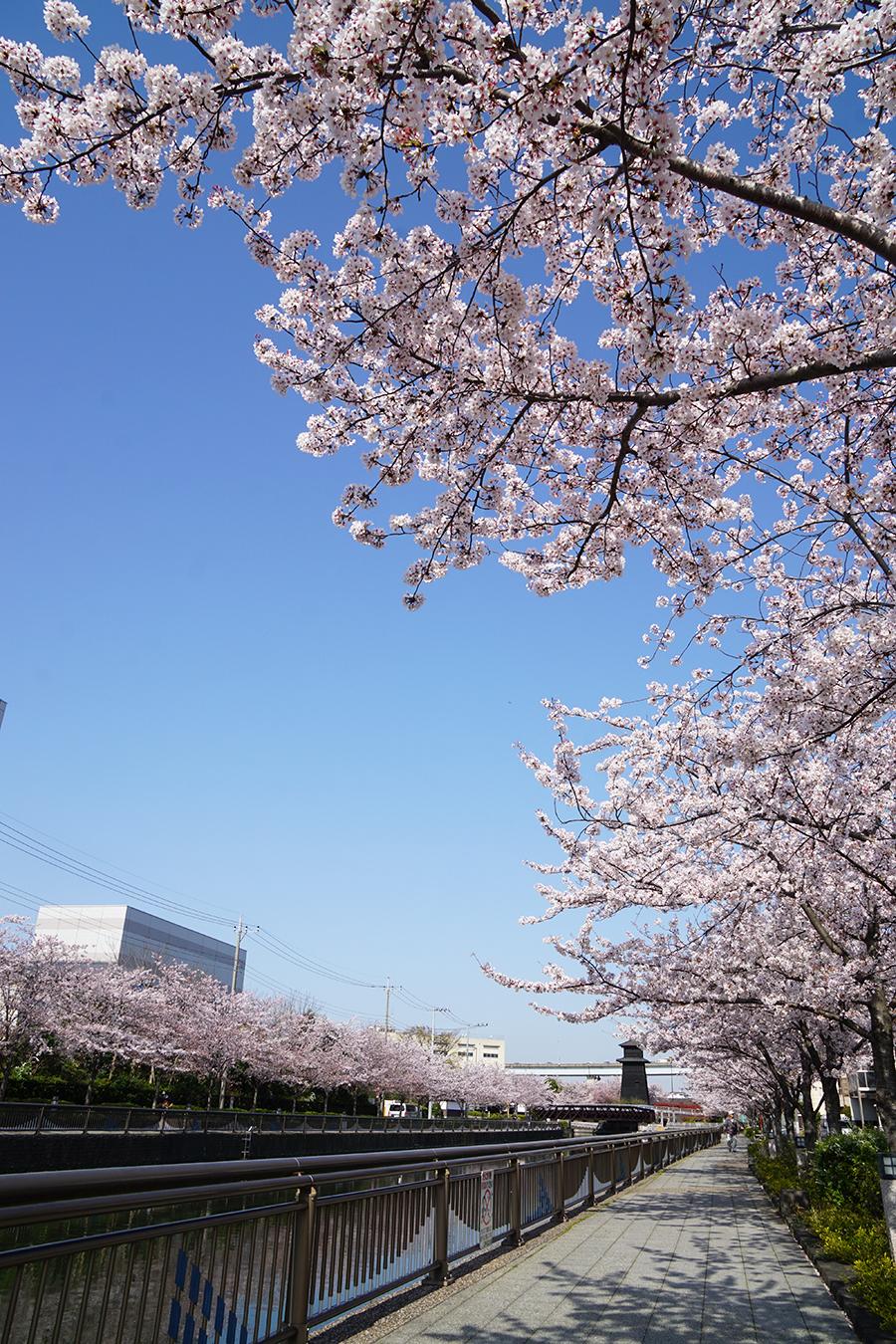 画像 新川千本桜