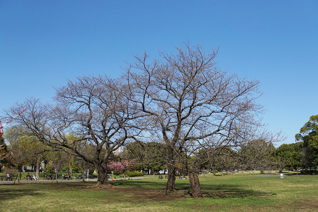 画像 篠崎公園の桜の様子(2018年3月17日)