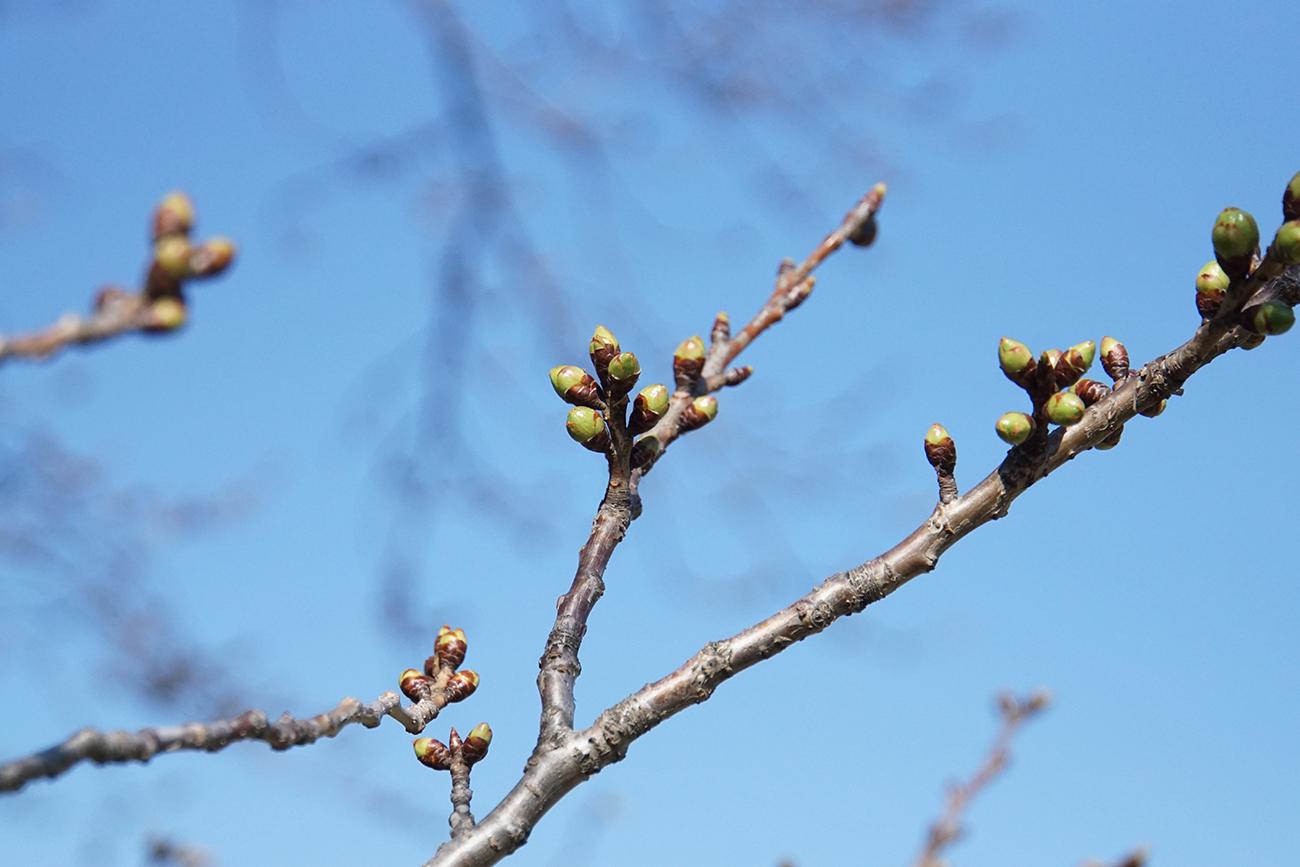 画像 篠崎公園の桜 つぼみの様子3(2018年3月17日)