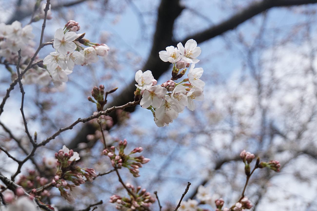 画像 篠崎公園の桜 2018年3月24日