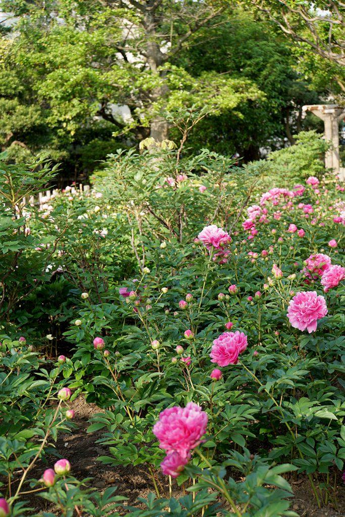画像 北側の花壇の様子 まだつぼみが多い 新堀しゃくやく公園