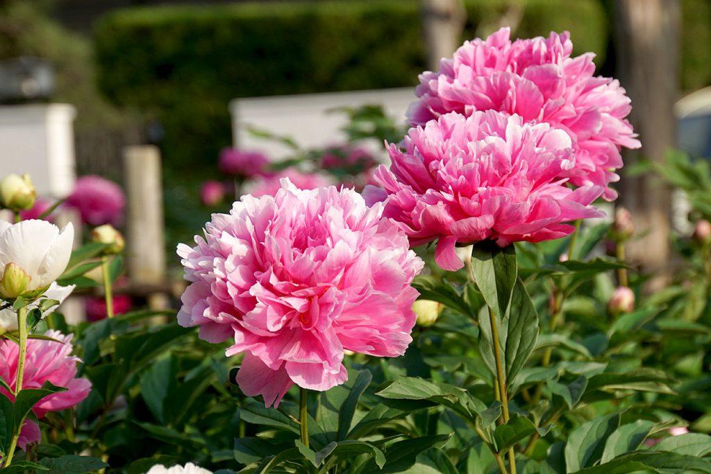 画像 新堀しゃくやく公園 ピンクのしゃくやくの花