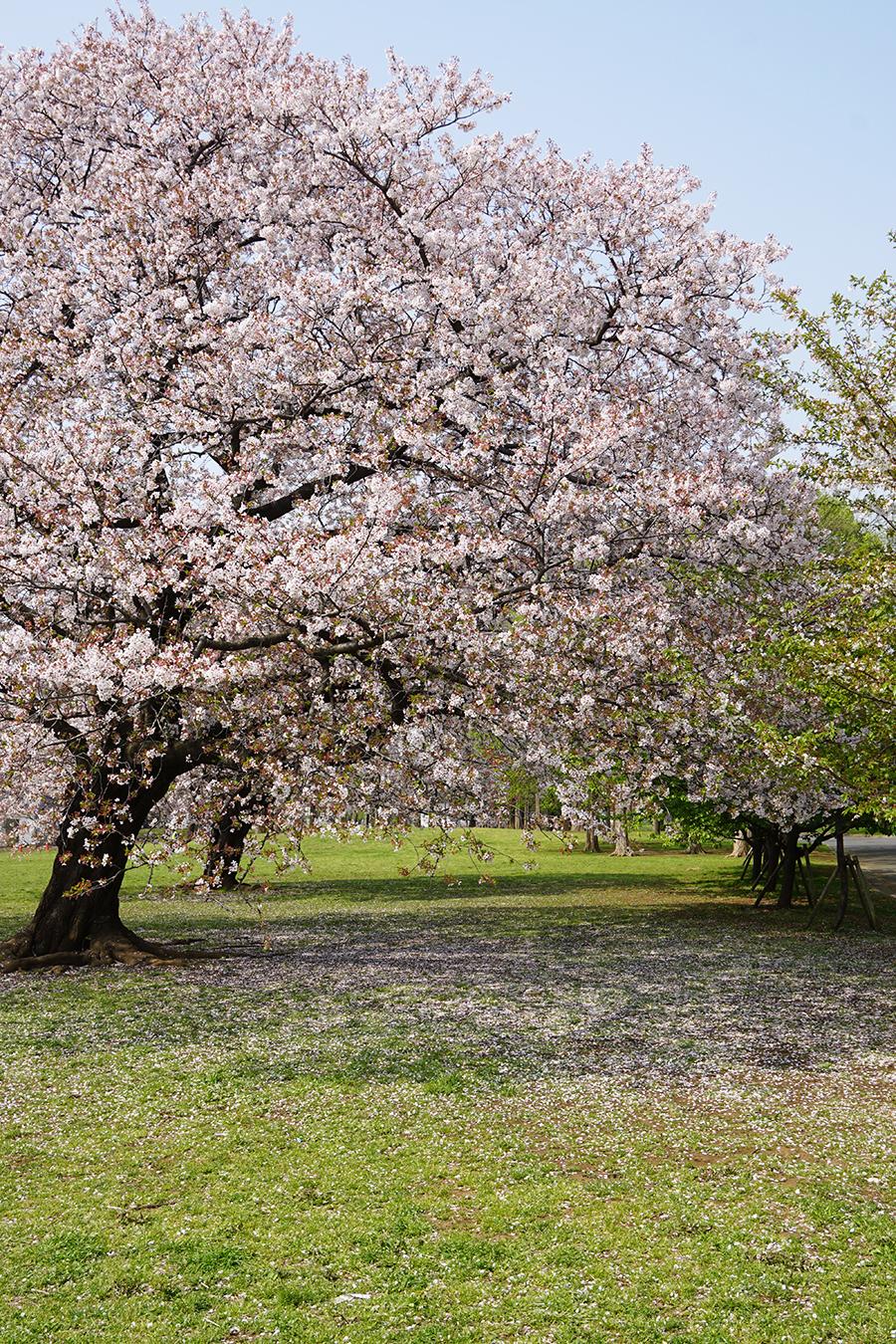 画像 篠崎公園の桜