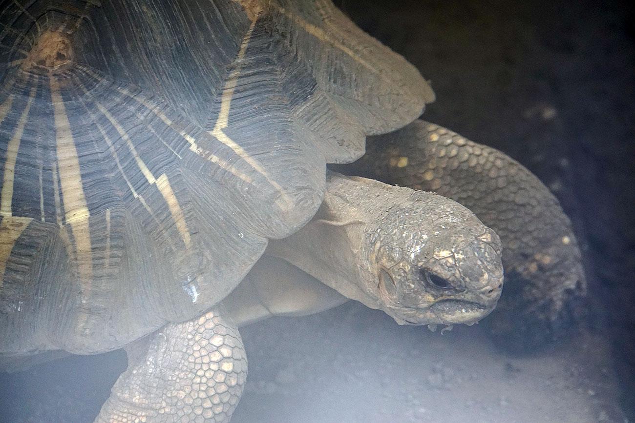 画像 自然動物園のホウシャガメ(オス)