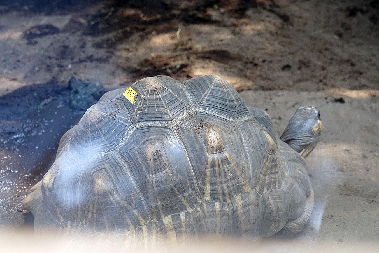 画像 自然動物園のホウシャガメ(メス)