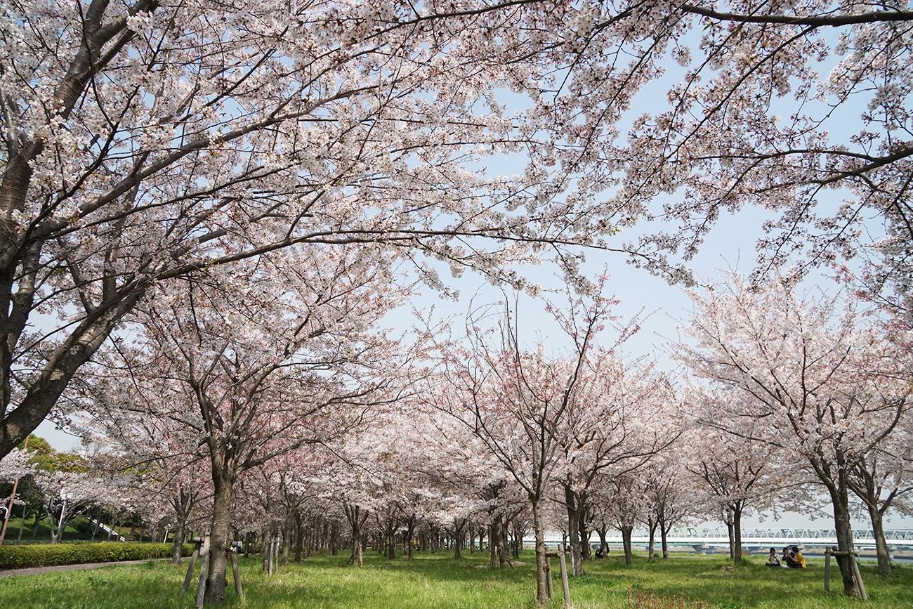 画像 小松川千本桜