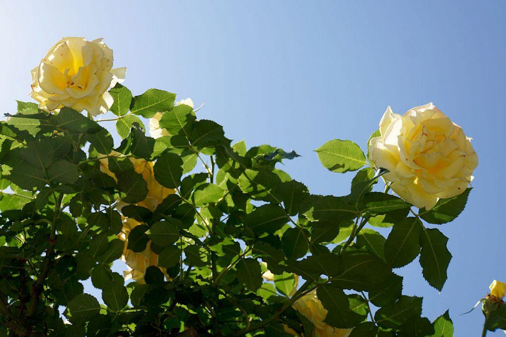 画像 黄色いバラ