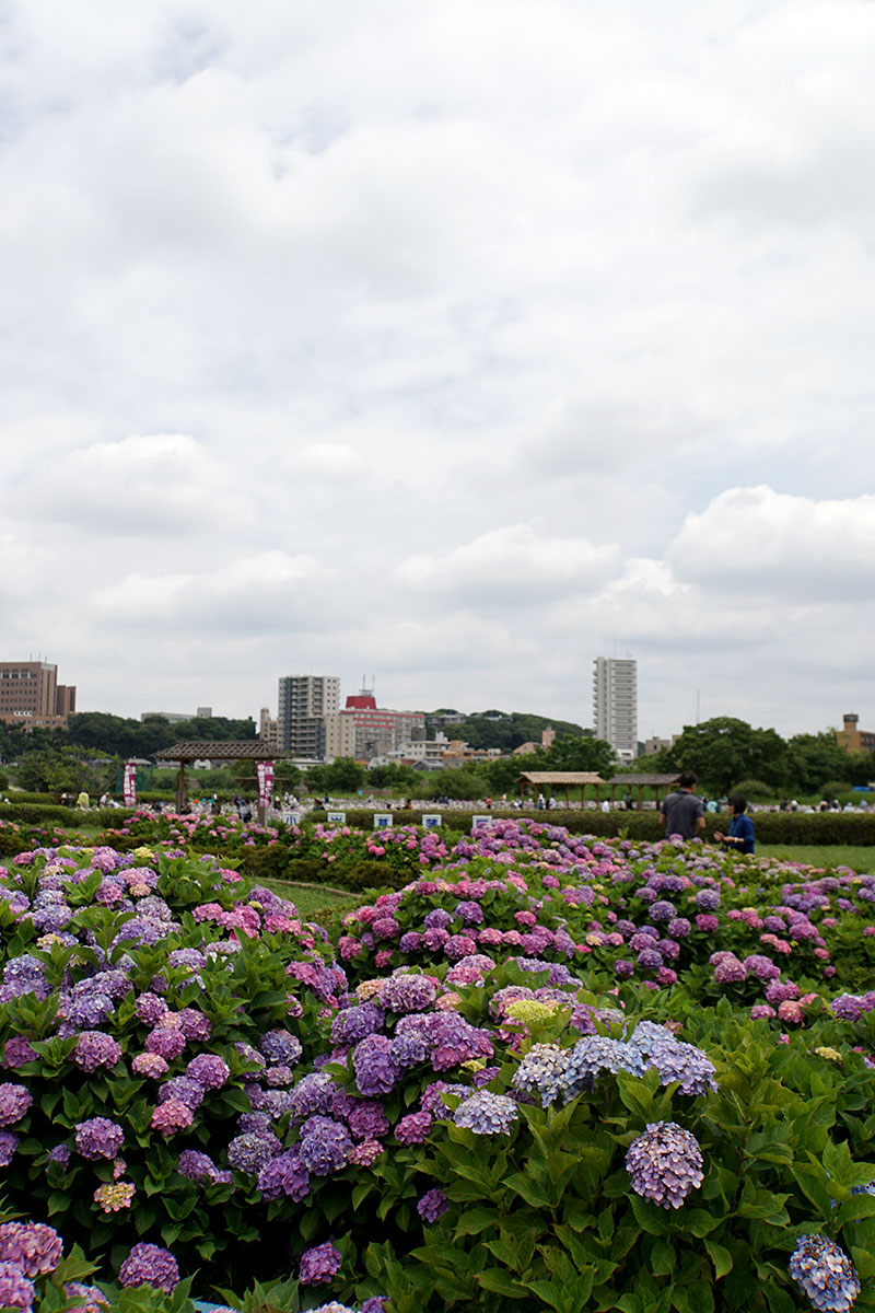 画像 小岩菖蒲園のアジサイ
