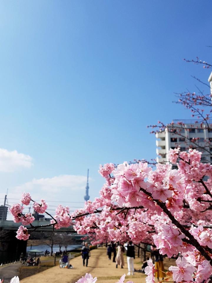 画像 旧中川の河津桜とスカイツリー
