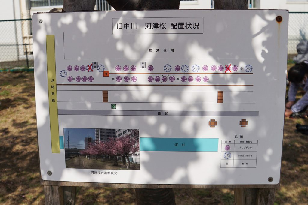 画像 旧中川 河津桜の配置状況の看板