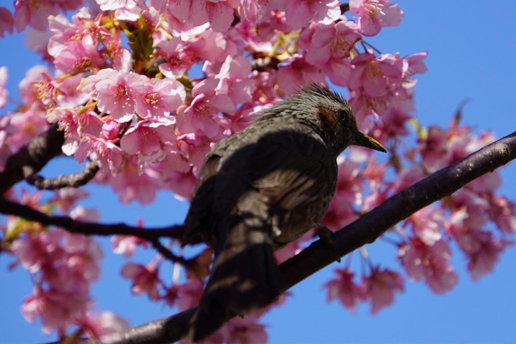 画像 ヒヨドリと河津桜
