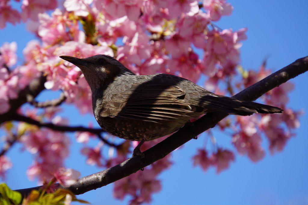 画像 河津桜とヒヨドリ