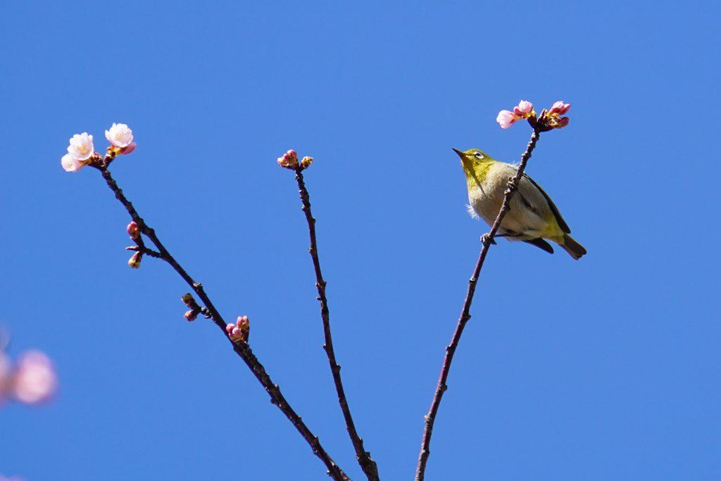 画像 河津桜とメジロ