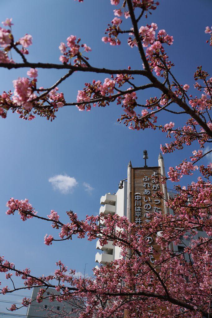 画像 旧中川の河津桜
