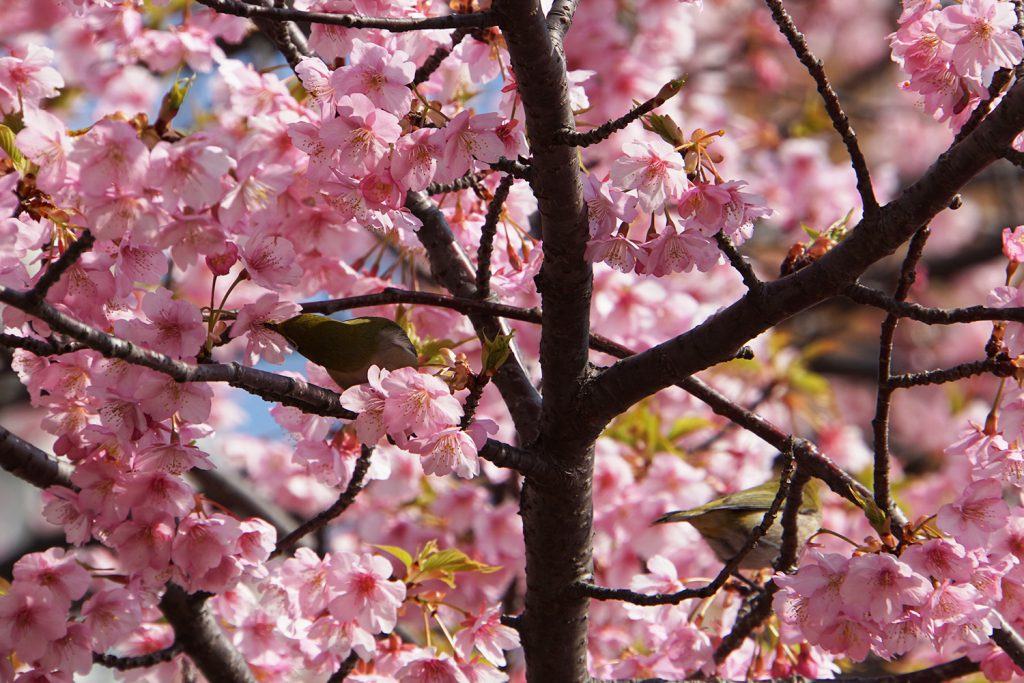 画像 河津桜の蜜を吸うメジロ