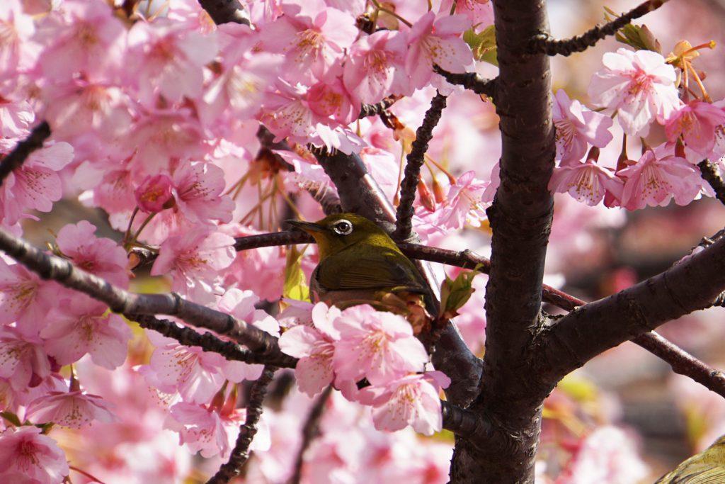 画像 メジロと河津桜