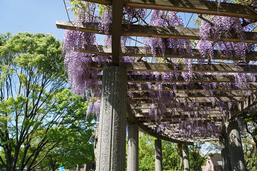 画像  大島小松川公園の藤の花