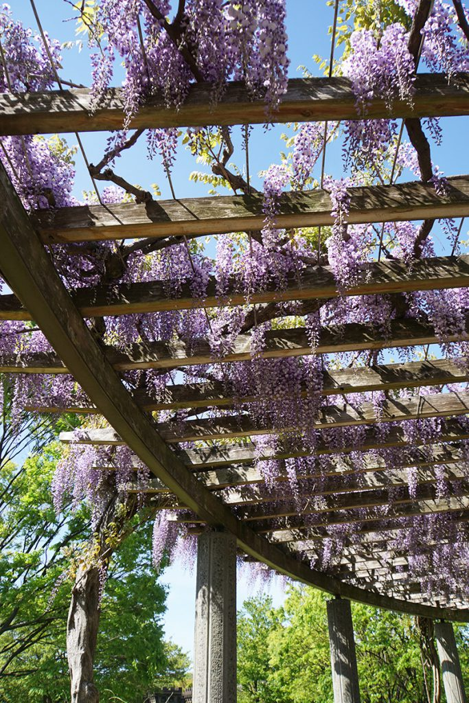 画像 大島小松川公園の藤棚