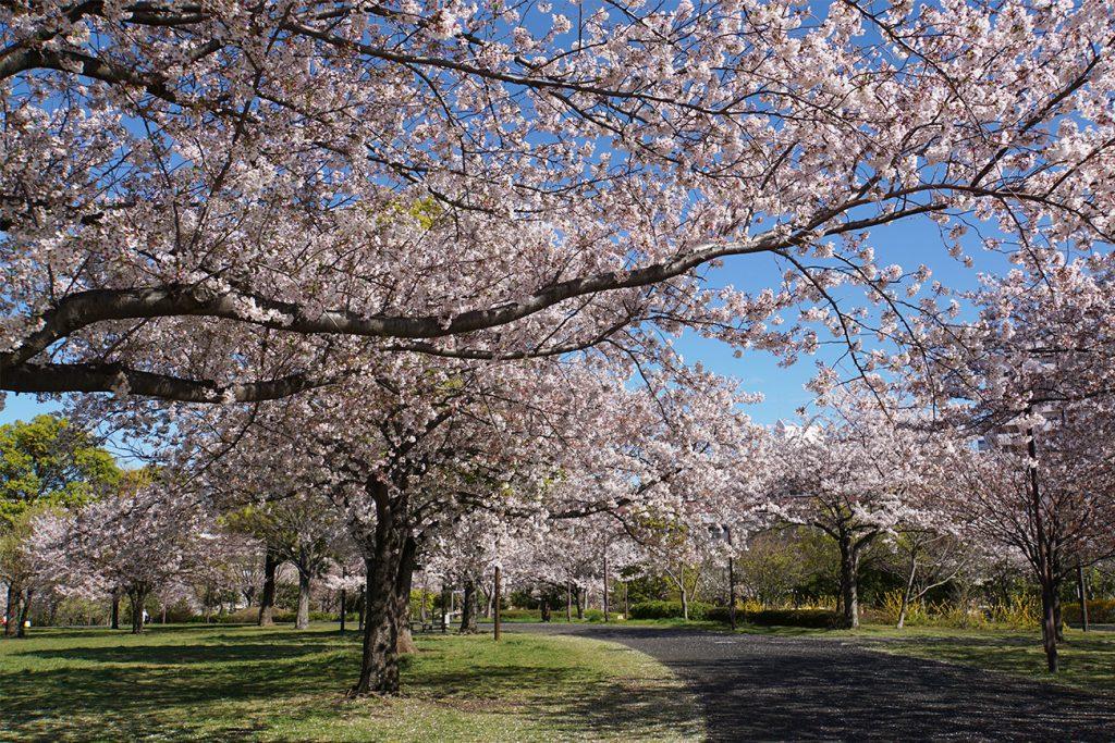 画像 大島小松川公園の桜2019年