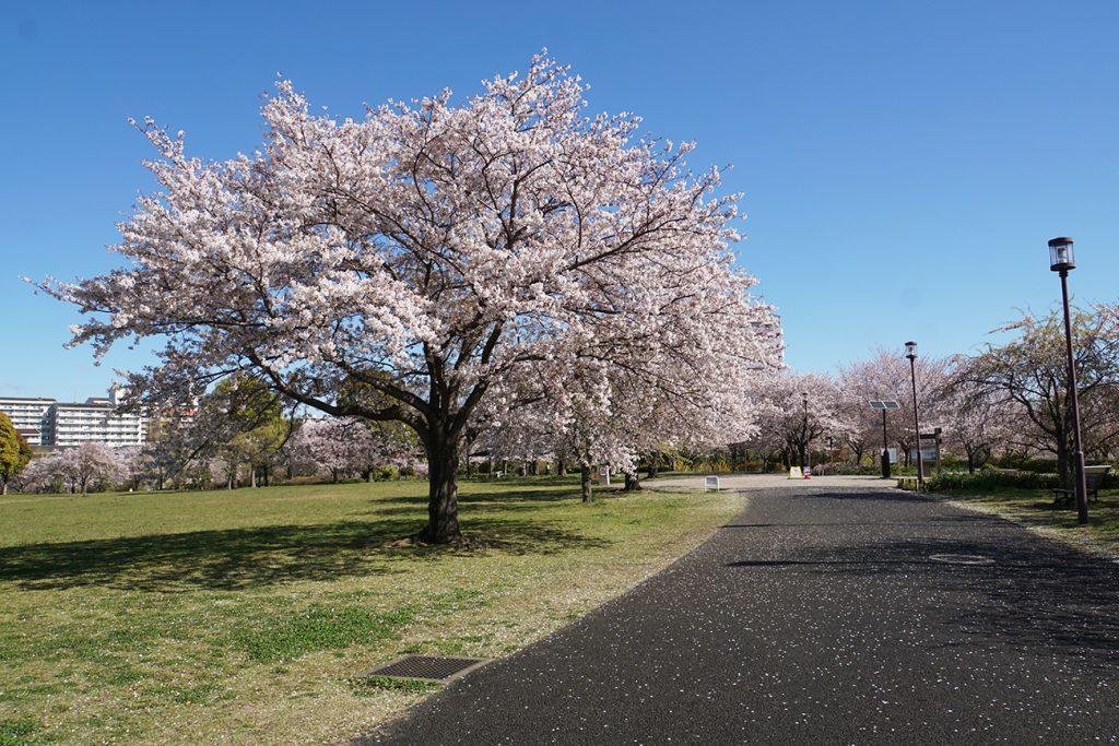 画像 大島小松川公園の桜
