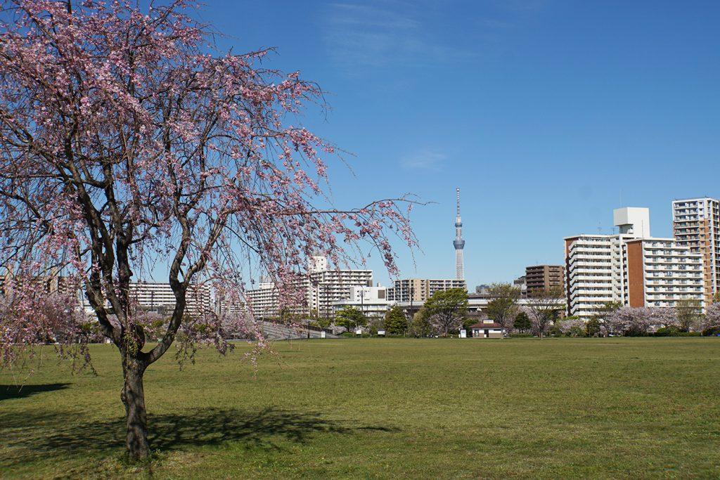 画像 大島小松川公園の桜 しだれ桜とスカイツリー