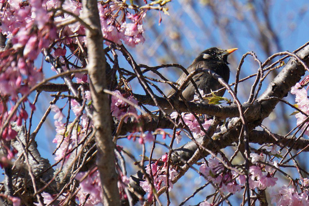 画像 大島小松川公園の桜 ムクドリと桜