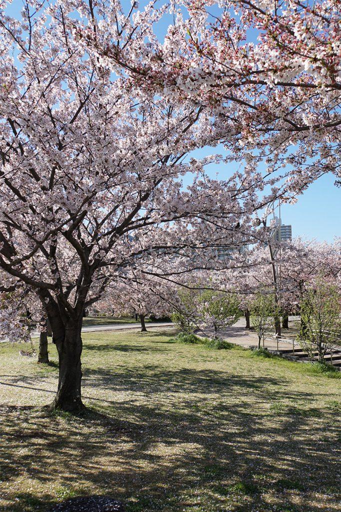 画像 自由の広場の周辺の桜