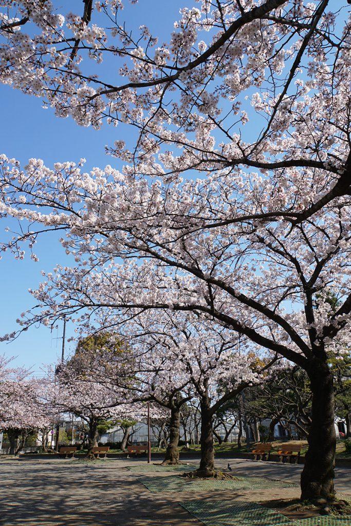 画像 春江の森公園の桜