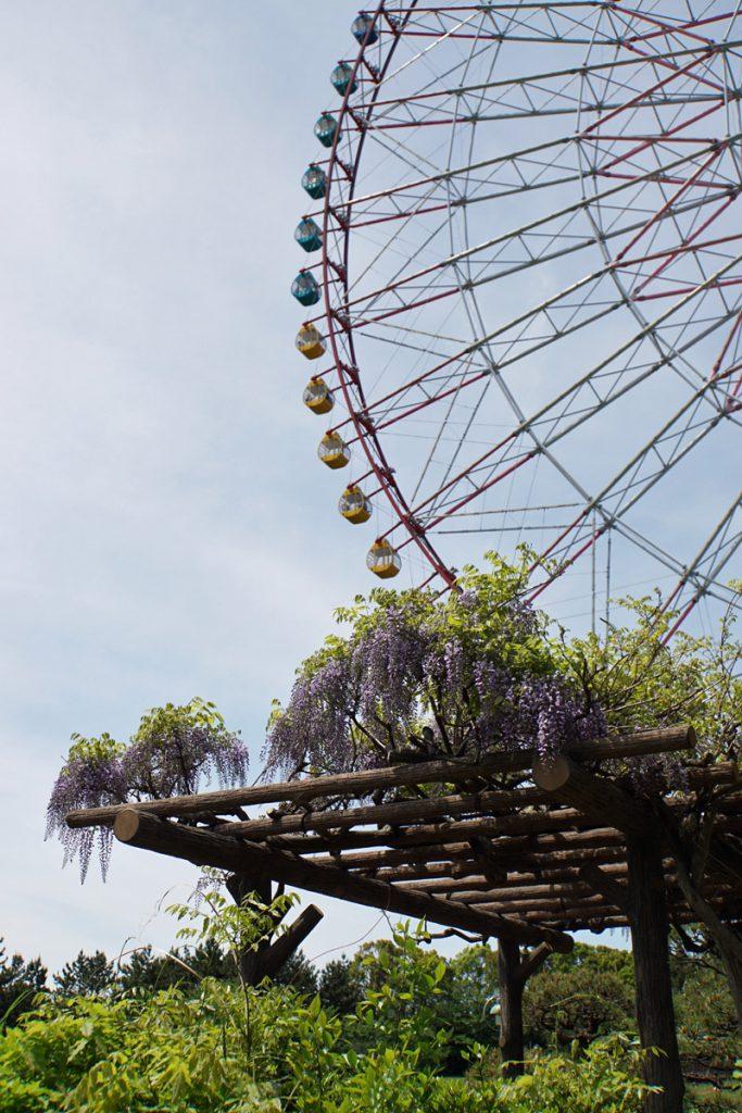 画像 葛西臨海公園の藤の花