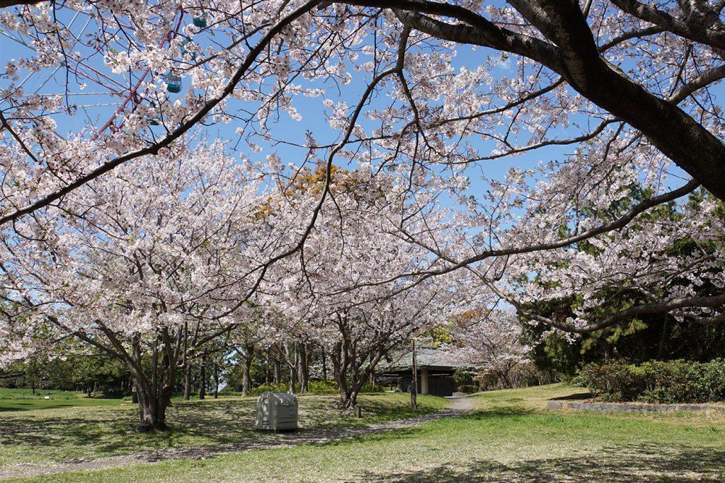 画像 観覧車の北側の桜