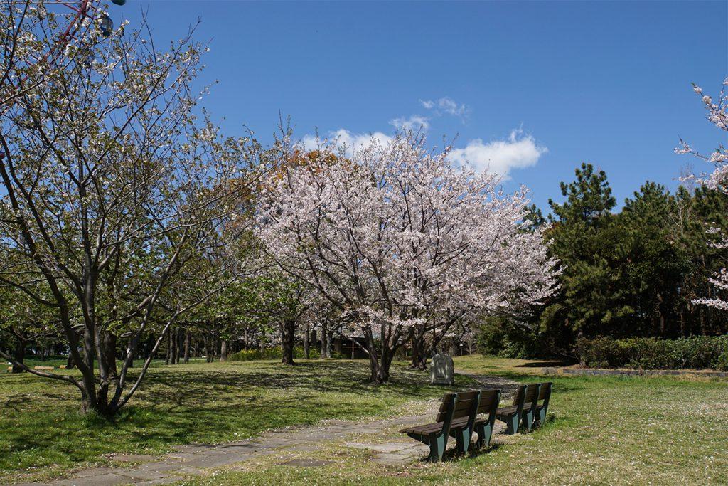 画像 観覧車北側の桜とベンチ