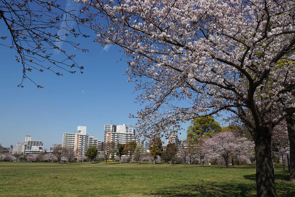 画像 2019年の大島小松川公園の桜