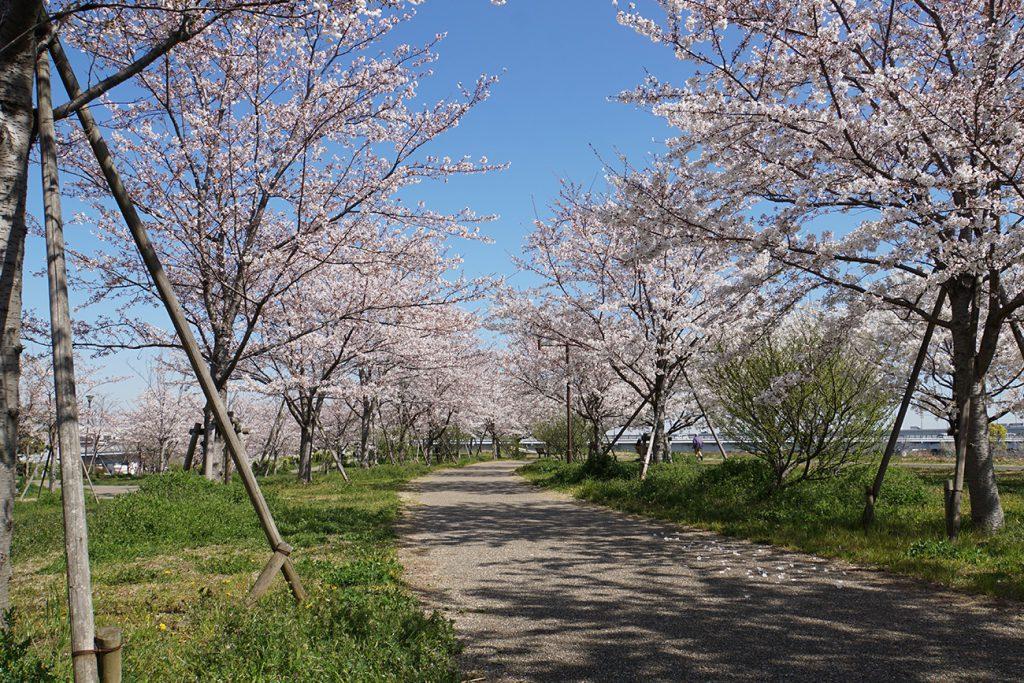 画像 2019年小松川千本桜