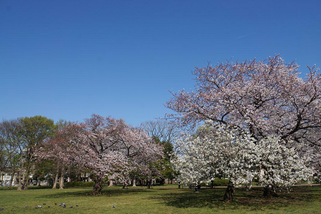 画像 2019年篠崎公園の桜