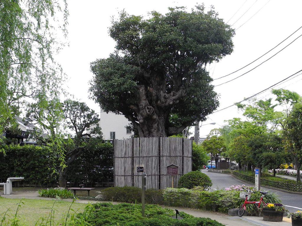 画像 一之江分教場後の樹齢300年のタブノキ