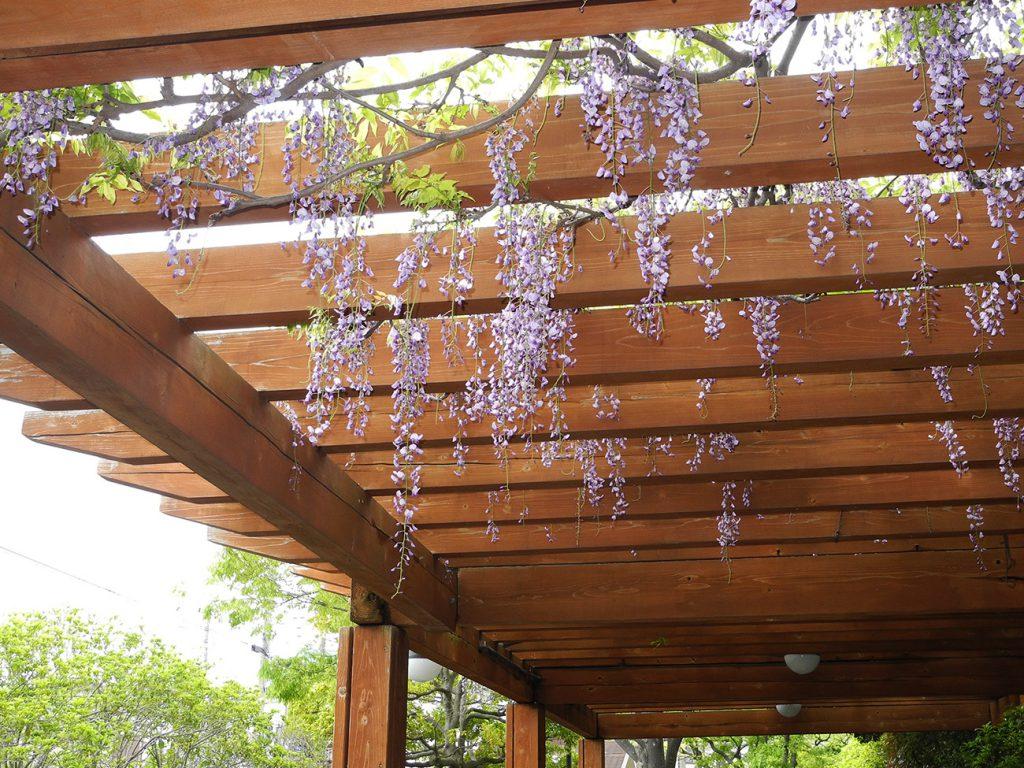 画像 一之江境川親水公園の藤の花