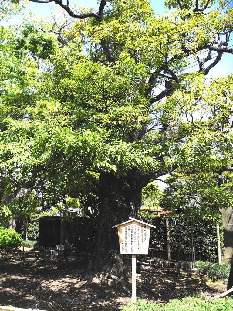 画像 一之江抹香亭の樹齢750年のタブノキ