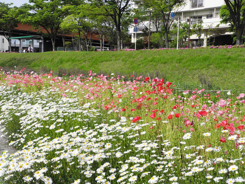 画像 旧中川の花畑