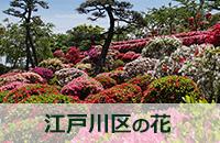 画像 江戸川区の花