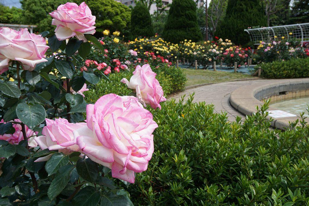 画像 フラワーガーデンの春バラ
