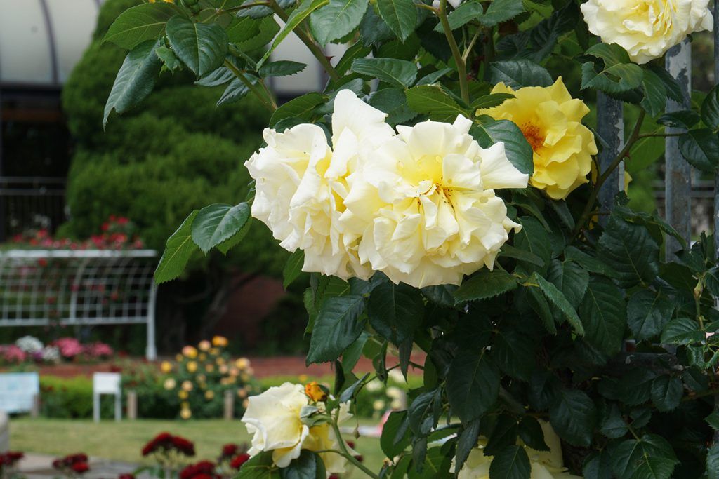 画像 フラワーガーデン 黄色いバラ