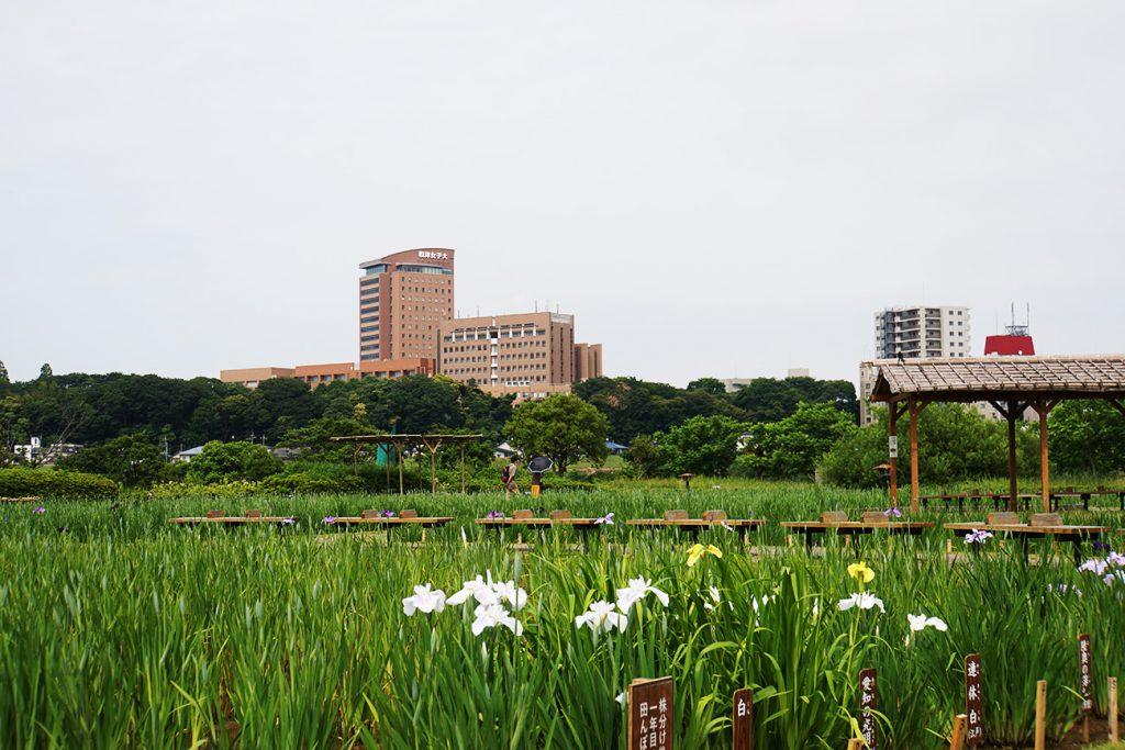 画像 咲いている菖蒲の花
