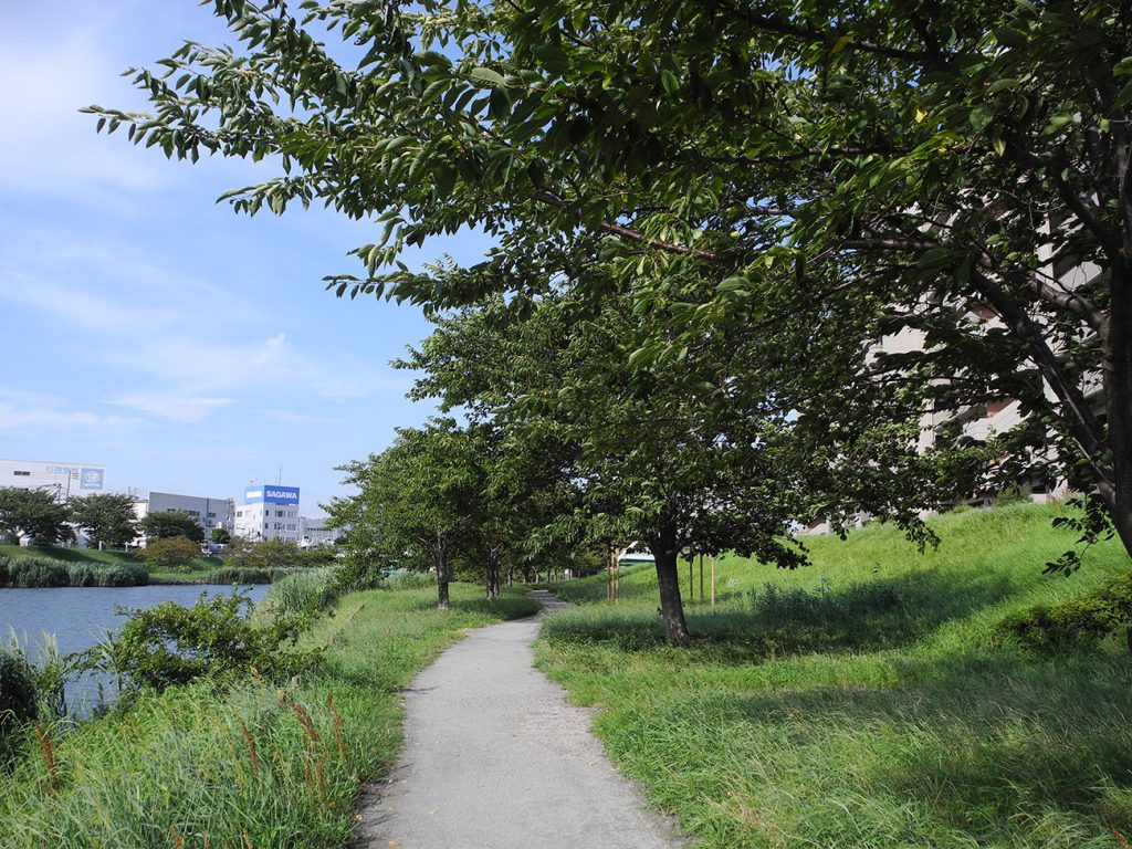 画像 旧中川 平井橋付近の桜並木