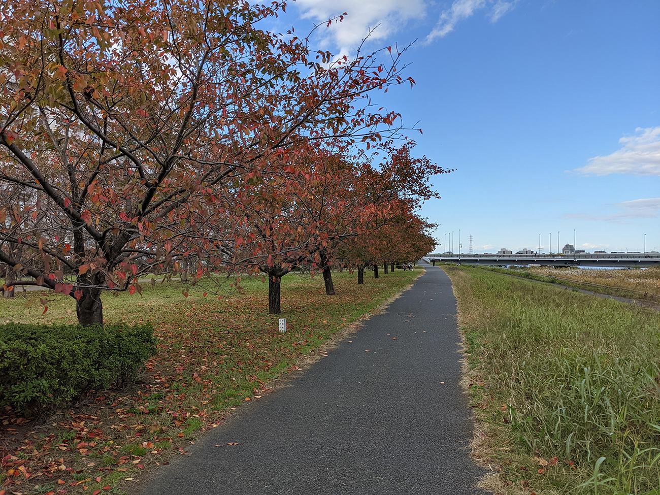 画像 小松川千本桜の紅葉