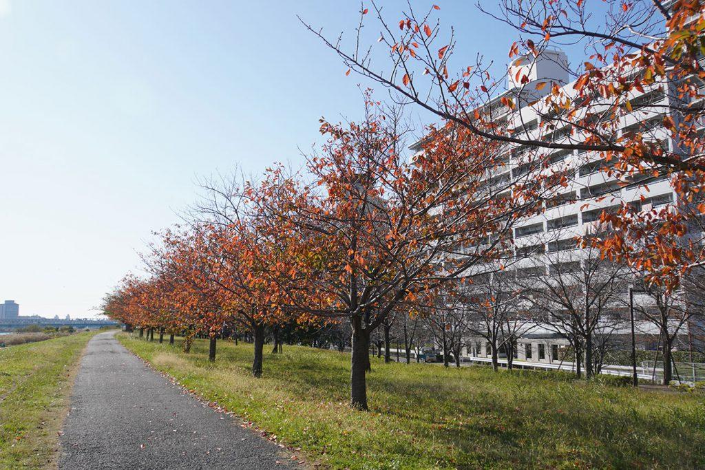 画像 荒川沿いの小松川千本桜