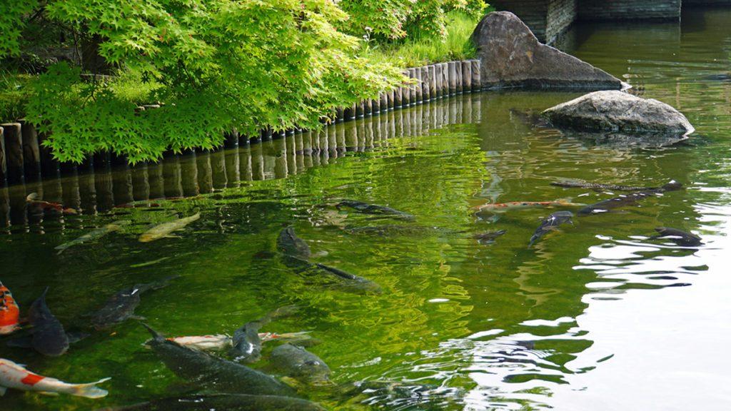 画像 主池の錦鯉