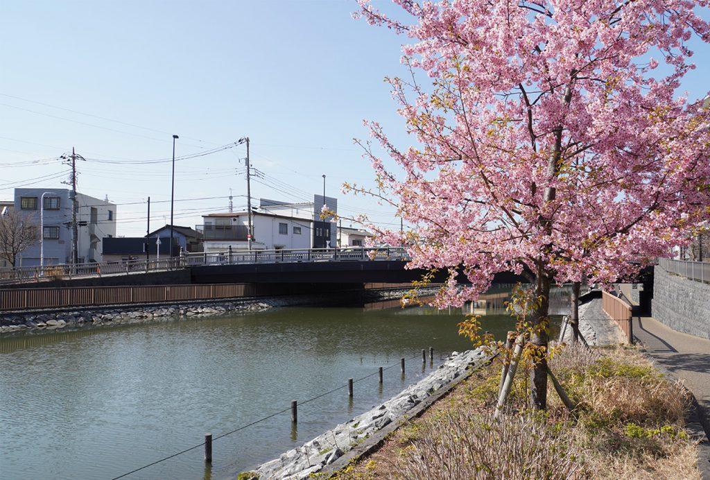 画像 新川沿いの河津桜