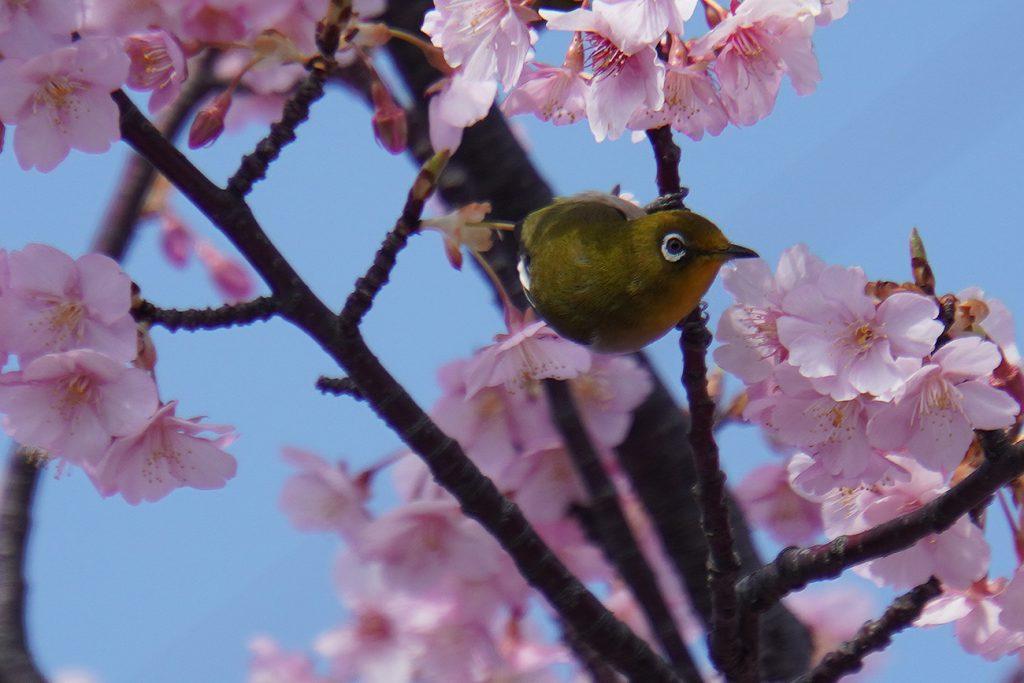 画像 新川河津桜のメジロ