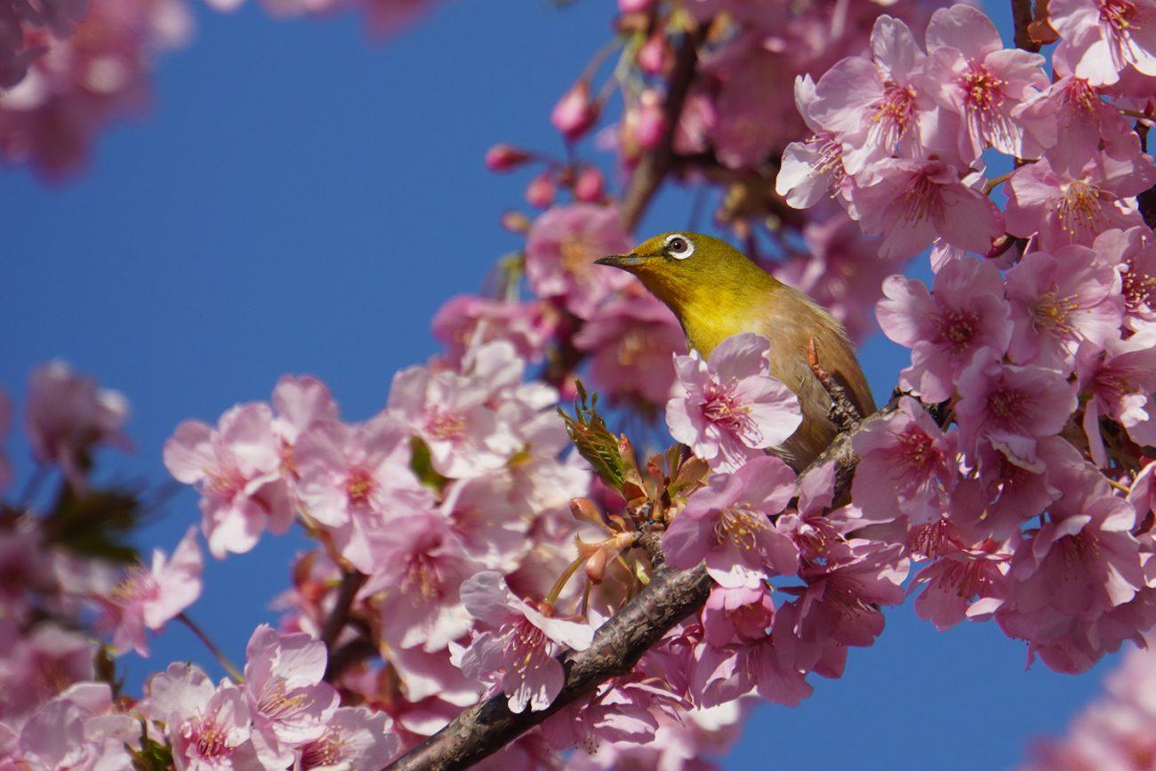 画像 なぎさ公園の河津桜のメジロ 2021年